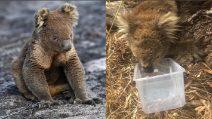 Australia, koala provato dal caldo e dagli incendi: una persona di buon cuore lo aiuta