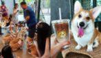 """La pausa caffè più dolce di sempre: benvenuti al CorgiCafè, il bar """"gestito"""" da 12 amabili cagnolini"""