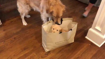 Incontra la sorella minore per la prima volta: la reazione del Golden Retrivier