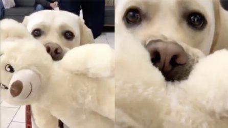 Non si separa dal suo orsetto: segue con ansia il suo piccolo amico