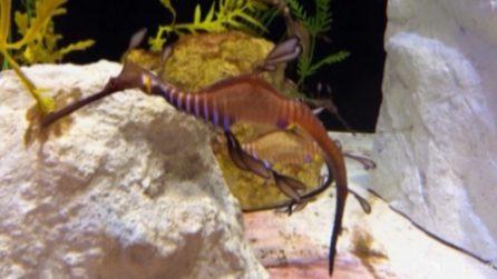 La nascita di rarissimi draghi marini: misurano appena 2,5 cm