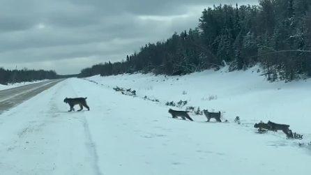 La lince attraversa la strada con i suoi cuccioli: il raro e dolce avvistamento