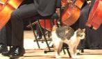 Il gatto è la star del concerto: passeggia tra gli orchestrali e si gode la musica