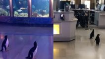 Coronavirus, acquario chiuso ai turisti: i pinguini vagano nei corridoi vuoi