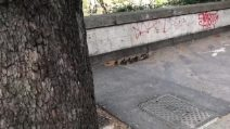 Mamma anatra e i suoi anatroccoli a spasso indisturbati sul Lungotevere a Roma