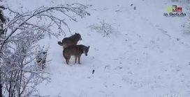 Abruzzo, dopo l'abbondante nevicata i lupi giocane e passeggiano sul manto candido