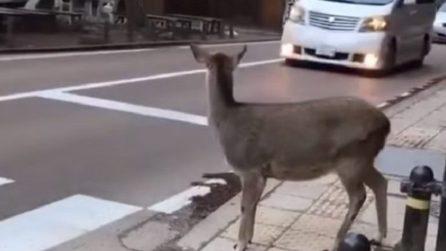 Il cervo educato che aspetta il semaforo verde e passa sulle strisce pedonali