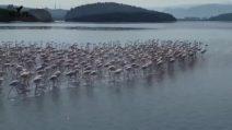 Migliaia di fenicotteri invadono la laguna abbandonata dall'uomo: non capitava mai prima