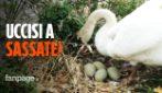 """Uova del cigno prese a sassate, muoiono tutti i pulcini: """"L'estinzione? ce la meriteremmo tutta"""""""