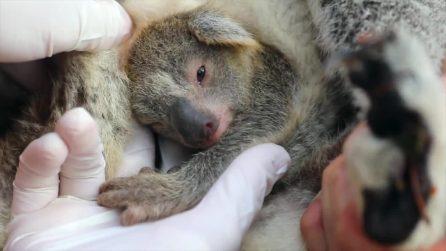 Australia, è nato il primo cucciolo di koala dopo i devastanti incendi dei mesi scorsi