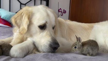 I coniglietti di pochi giorni di vita pensano che il cane sia la loro mamma