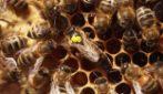 """Il curioso richiamo delle api regine che """"starnazzano"""" come anatre"""