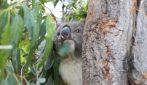 Dopo quasi un anno, i koala salvati dagli incendi in Australia vengono liberati