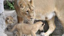 Roma, sorpresa al Bioparco: nati due cuccioli di leone asiatico