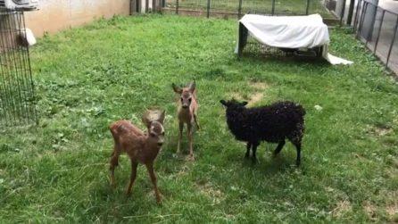 Torino, la tenera amicizia tra un agnellino e due cerbiatti