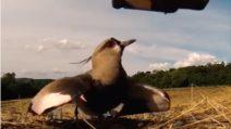 Trattore passa vicino i suoi piccoli: apre le ali per proteggerli