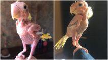 Blondie, Il pappagallo senza piume che mostra come essere felici anche nella diversità