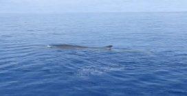 Incontro ravvicinato con le balenottere in Sardegna: le splendide immagini