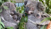 Tutto l'amore di mamma koala che culla il figlio per farlo addormentare