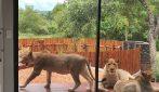 Proprietario apre la porta di casa e trova dei leoni che l'hanno occupata