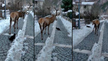 Parco Nazionale d'Abruzzo, un gattino segue un cervo: la scena curiosa ripresa dai passanti