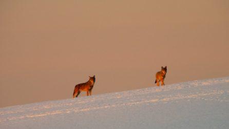 Immagini spettacolari vicino Verona: un branco di lupi cammina nella neve