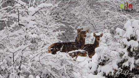 È aprile ma sembra essere tornati a febbraio: i cervi nel paesaggio magico del Parco Nazionale d'Abruzzo