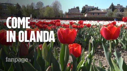 Bologna, apre il Tulipark: 250mila tulipani colorano la città