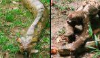 Il giorno fortunato di un bradipo: l'anaconda lo risparmia
