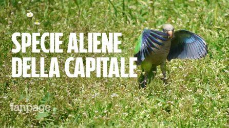 La storia del parrocchetto, il pappagallo che ha invaso Roma