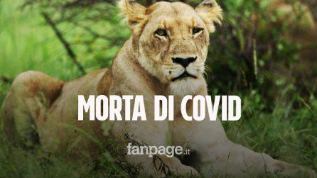 Una leonessa di 9 anni è morta di Covid in uno zoo indiano: con Neela positivi altri 8 leoni