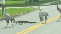 Una famiglia di gru aiuta un piccolo alligatore ad attraversare la strada