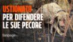 """Incendi Sardegna, cane non scappa dalle fiamme per difendere le pecore: """"Perde pezzi di pelle"""""""