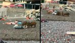Cinghiali in spiaggia, scompiglio tra i bagnanti a Genova