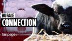 L'epidemia tra le bufale della mozzarella dop: capi abbattuti e latte importato dall'estero