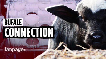 L'epidemia di brucellosi tra i capi che producono latte per la mozzarella dop