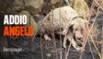 """Morto Angelo, il cane pastore coraggioso degli incendi in Sardegna: """"Non soffre più"""""""