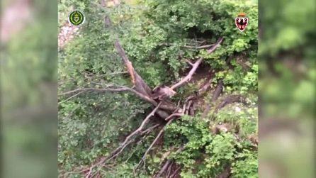 Orsetto incastrato tra due alberi: libero grazie ai forestali del Trentino