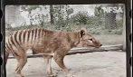 Le meravigliose immagini a colori della tigre della Tasmania estinta: restaurato video di 90 anni